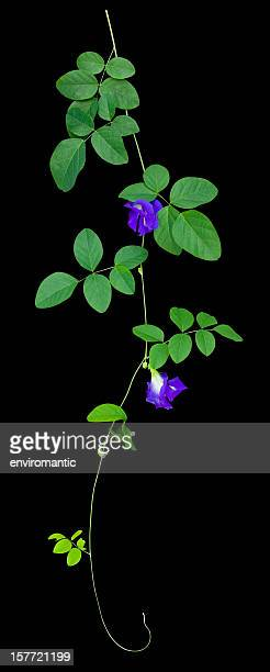 Butterfly Pea creeper plant, isolated on black with clipping path.