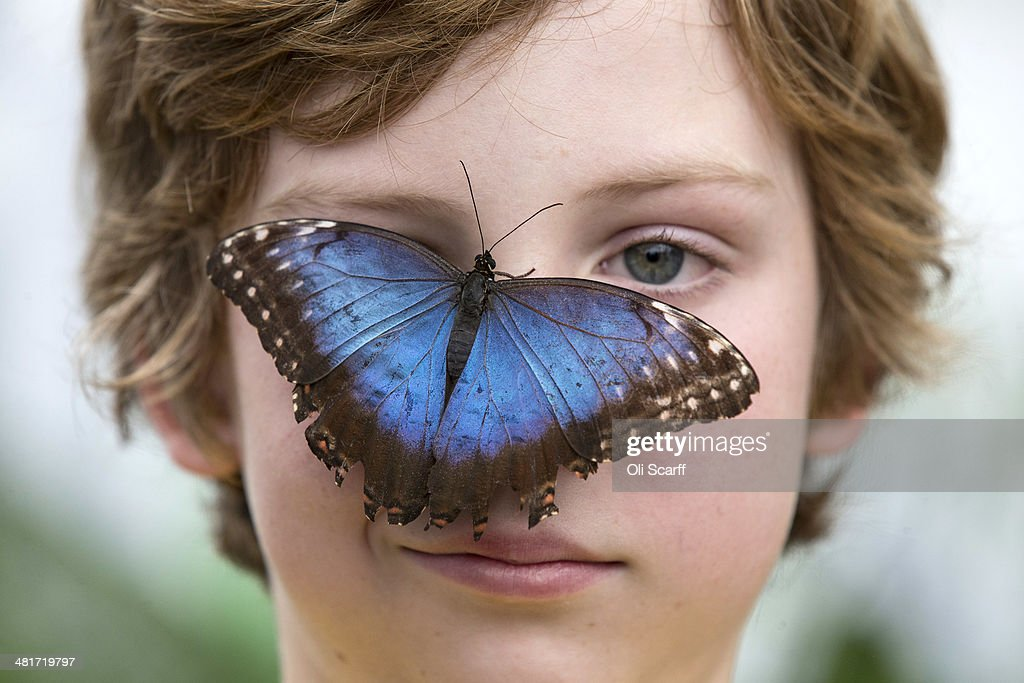 A butterfly perches on the face of Marco, aged 9, in the Natural History Museum's 'Sensational Butterflies' outdoor butterfly house on March 31, 2014 in London, England. The temporary attraction on the East Lawn of the Natural History Museum houses hundreds of free-flying, rare butterflies and runs from April 3, 2014 until September 14, 2014.