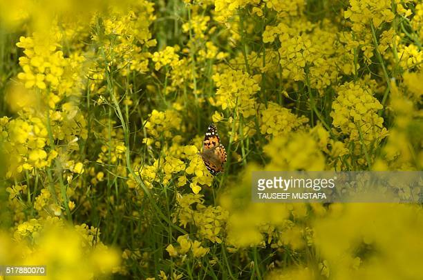 A butterfly rests in a mustard field in full bloom on the outskirts of Srinagar on March 28 2016 According to the Directorate of Agriculture of Jammu...