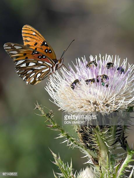 A butterfly shares a blossom with bees at Merritt Island National Wildlife Refuge March 13 2009 near Titusville Florida The wildlife refuge shares a...