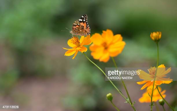 A butterfly sits on a flower in a garden in Pakistan's capital Islamabad on May 13 2015 AFP PHOTO / Farooq NAEEM / AFP PHOTO / FAROOQ NAEEM
