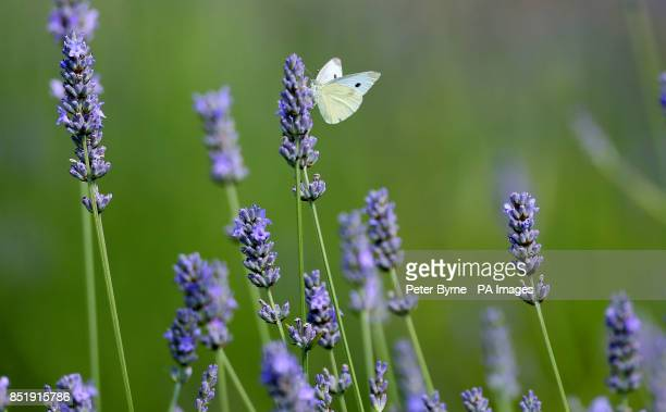 A butterfly sits on a lavender plant in Chester Zoo's gardens