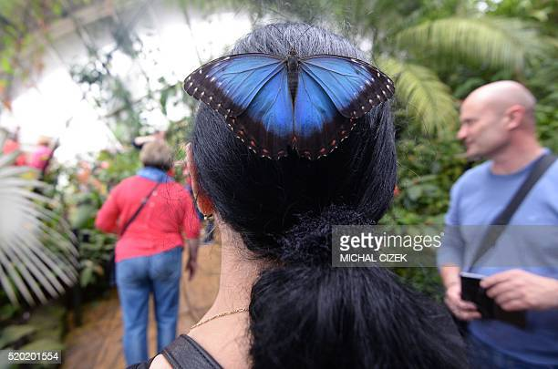 A butterfly sits on a woman's head during an exhibition of tropical butterflies at the botanical garden in Prague Czech Republic on April 10 2016 /...