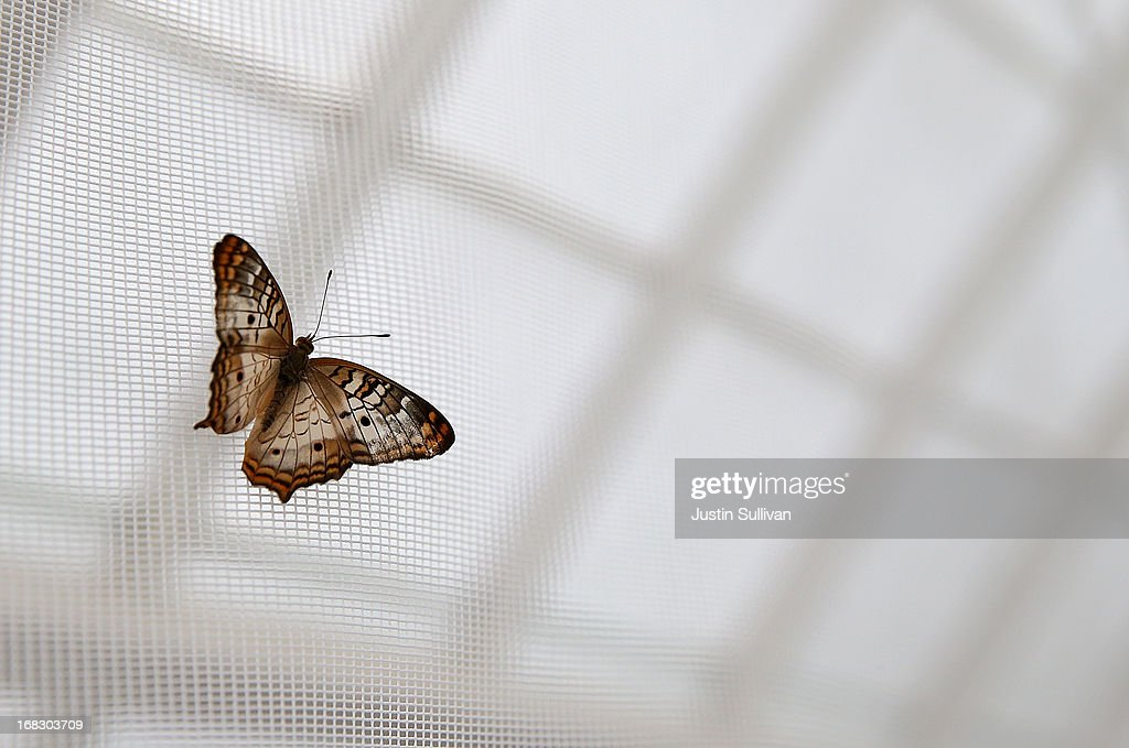 A butterfly sits on the mesh ceiling of a greenhouse during the first day of the 'Butterflies and Blooms' exhibit at the Conservatory of Flowers in Golden Gate Park on May 8, 2013 in San Francisco, California. The popular 'Butterflies and Blooms' exhibit has returned to the Conservatory of Flowers and features more than 20 species of North American butterflies including Monarchs, Western Swallowtails and more.