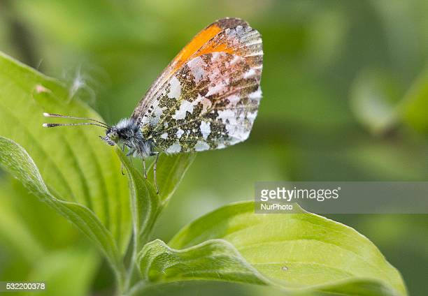 Butterfly sitting on a leaf Banie Mazurskie Poland on 18 May 2016