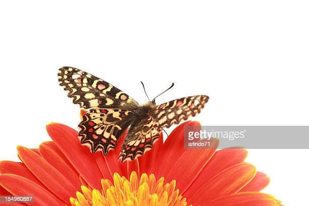 Papillon (espagnol) sur festoon orange gerbera