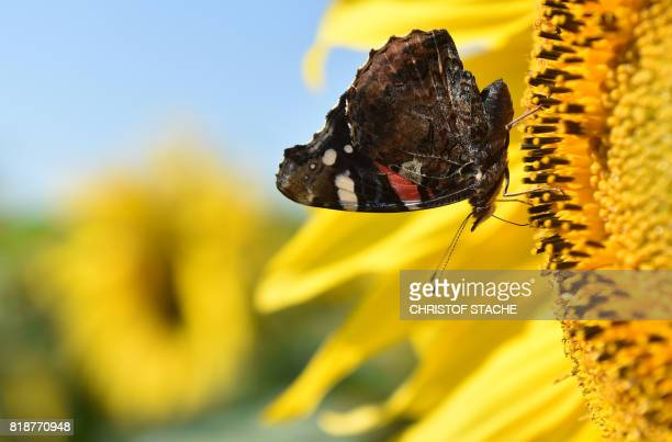 A butterfly stands at the flower of a blooming sunflower at a field near the small Bavarian village of Wiedenzhausen southern Germany during a...