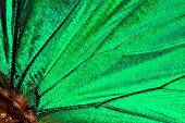 Butterfly wing background :Malachite