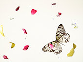 butterfly with falling petals