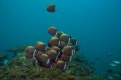 Butterflyfish -Chaetodon collare-, Gulf of Oman, Oman