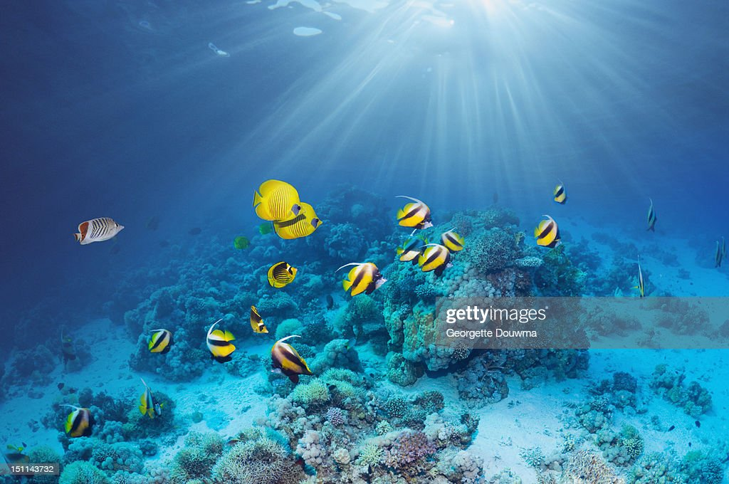 Butterflyfish over coral reef : Stock Photo
