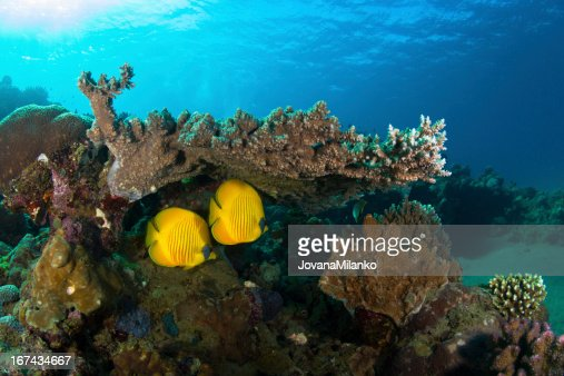 Butterflyfish : Stock Photo