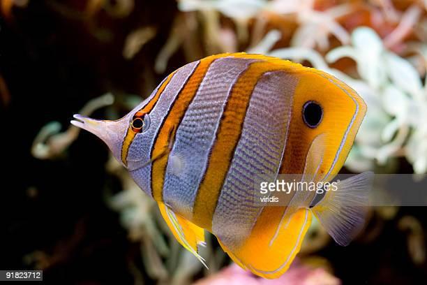 Mondo marino foto e immagini stock getty images for Pesce rosso butterfly