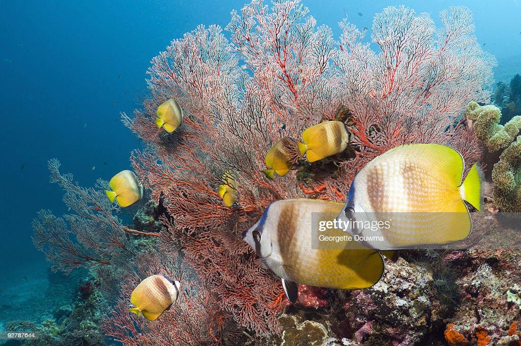 Butterflyfish : Stock Photo
