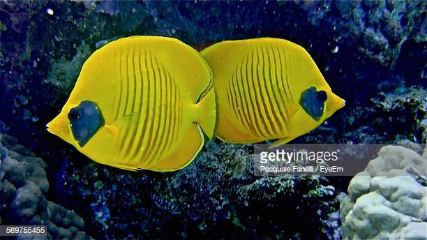 Butterflyfish Swimming In Sea