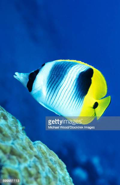 A Butterflyfish swims up along a coral reef, Papua New Guinea.