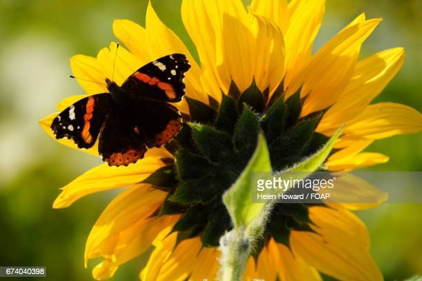 Butterfy on sunflowers