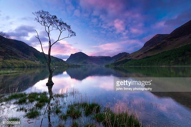 Buttermere tree on Buttermere water with a stunning pink sky at sunrise. Cumbria, Lake District. England. UK