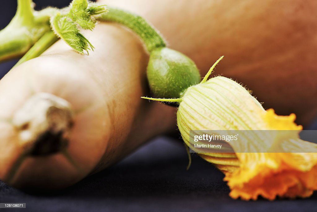 Butternut with flower against black background. : Stock Photo