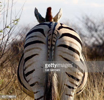 Buttock of a Zebra