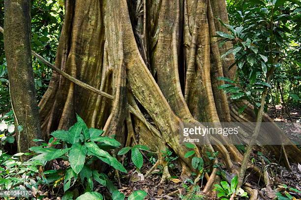 Buttress roots of fig tree Carara National Park Costa Rica