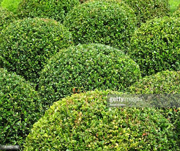 Buxus balls for sale