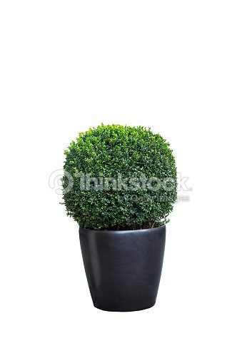 Buxus sempervirens tree in pot isolated on white : Stock Photo