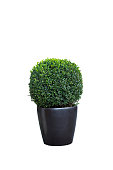 Evergreen tree Buxus sempervirens (common box, European box, or boxwood) in pot isolated on white background