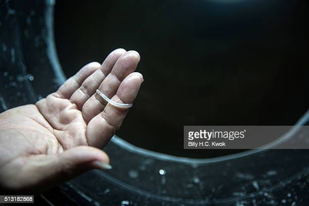 A buyer holds a died glass eel in the early hours on January 29 2016 in Yilan Taiwan Japanese and European glass eels have been on the danger of...