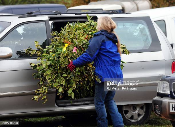 A buyer loads their car with holly at the auction sale of holly mistletoe wreaths and Christmas trees at Bromyard Road Business Park Tenbury Wells...