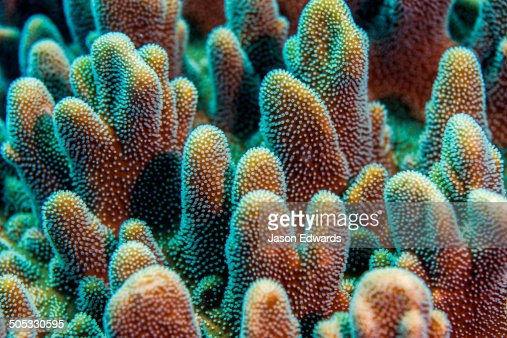 A colony of dome-like hard coral polyps feeding on a tropical reef.