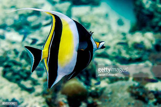 A colourful black and yellow Moorish idol swimming above a hard coral tropical reef.