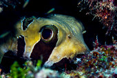 The large eye of a Porcupine Fish peering from a cave where it is sheltering in a tropical coral reef outcrop.