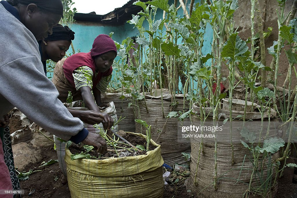 By Anne CHAON Residents of Nairobi's sprawling Kibera slum prepare to plant vegetable seedlings in a sack-garden on October 15, 2012. The innovative project implemnted by the NGO, Solidarites International and funded by the European Union and French development agency, a.f.d., is feeding more than 250,000 people in the slums of Africa and Asia .High cost of arable land in the east African nation has denied many land on which to cultivate which coupled with a high rate of unemployment has left a majority of families unable to fend for themselves. AFP PHOTO/Tony KARUMBA