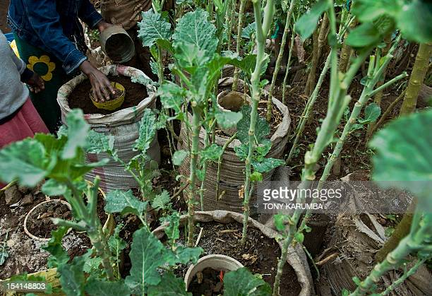 By Anne CHAON Residents of Nairobi's sprawling Kibera slum prepare to plant vegetable seedlings in a sackgarden on October 15 2012 The innovative...