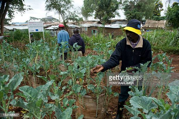 By Anne CHAON Residents of Nairobi's sprawling Kibera slum tend to vegetable planted in sackgardens on October 15 2012 The innovative project...