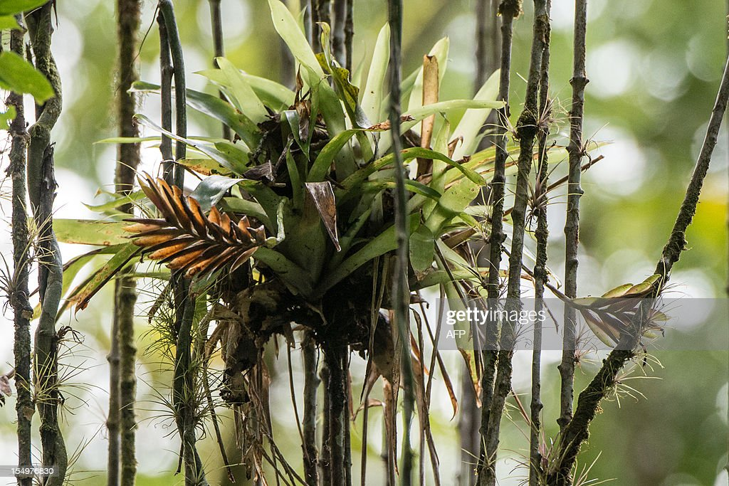 STORY by Gerard Aziakou Picture of a bromelia and lianas taken at Salto Morato Nature Reserve, in Guaraquecaba, in the southern state of Parana, Brazil, on October 24, 2012. Salto Morato, a 2,253-hectare nature reserve, was set up by Brazilian cosmetic giant Boticario's foundation in 1994. The 25 protected areas of the Atlantic Forest South-East Reserves, in the states of Parana and Sao Paulo, were declared as World Heritage site by UNESCO in 1999. AFP PHOTO/Yasuyoshi CHIBA