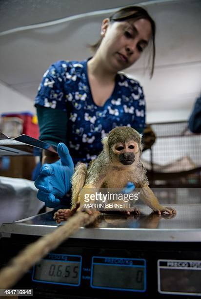 STORY by Giovanna Fleitas Chilean veterinarian Nicole Rivera gives medical treatment to a capuchin monkey at a primate rehabilitation centre in...
