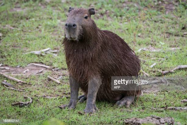 STORY by Hector Velasco A capybara rests on one of the banks of the Paraguay river in Corumba a municipality in the Brazilian state of Mato Grosso do...