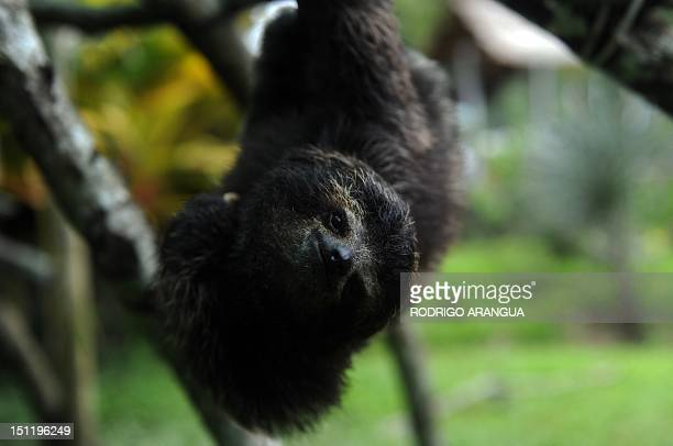 STORY by Isabel Sanchez A baby brownthroated sloth plays at the Sloth Sanctuary in Penshurt some 220 km east of San Jose Costa Rica on August 30 2012...