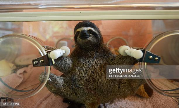STORY by Isabel Sanchez A baby brownthroated sloth remains in an incubator at the Sloth Sanctuary in Penshurt some 220 km east of San Jose Costa Rica...