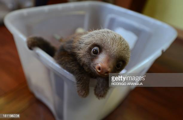 STORY by Isabel Sanchez A baby Hoffmann's twotoed sloth is seen at the Sloth Sanctuary in Penshurt some 220 km east of San Jose Costa Rica on August...