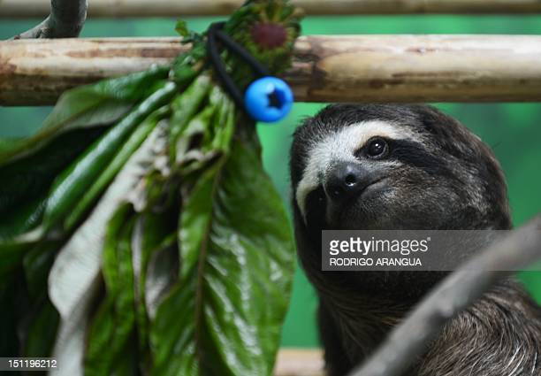 STORY by Isabel Sanchez A brownthroated sloth eats at the Sloth Sanctuary in Penshurt some 220 km east of San Jose Costa Rica on August 30 2012 AFP...