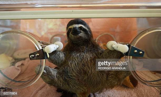 STORY by Isabel Sanchez FILES A baby brownthroated sloth remains in an incubator at the Sloth Sanctuary in Penshurt some 220 km east of San Jose...