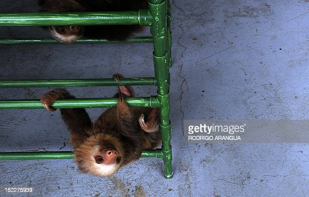 STORY by Isabel Sanchez FILES A baby Hoffmann's twotoed sloth plays at the Sloth Sanctuary in Penshurt some 220 km east of San Jose Costa Rica on...
