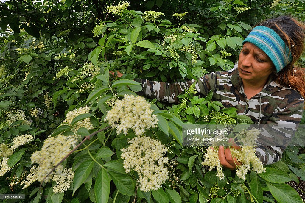 STORY by ISABELLE WESSELINGH - Picture taken on May 25, 2013 shows a woman picking elder flowers near the village of Saschiz in the Transylvania region of Romania. If elder trees add to the beauty of Romania's landscapes, their white flowers help its rural economy grow when they are turned into cordials exported to Britain and Japan. Every year Romanians anxiously await the blossom season in May and June to pick the delicately-scented flowers and concoct a traditional soft drink called 'socata'. AFP PHOTO / DANIEL MIHAILESCU