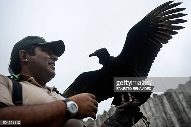 STORY by Luis Jaime Cisneros A falconer trains a blackheaded vulture in Lima on January 9 2016 Equipped with GPS and cameras the vultures help...