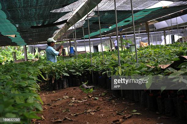 STORY by Marianela Jimenez Eveldo a Bribri native worker grafts cacao plants at the Association of Small Producers of Talamanca one of the biggest...