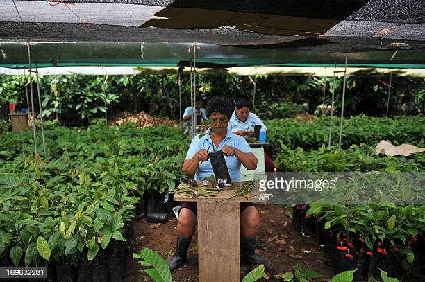 STORY by Marianela Jimenez Workers graft cacao plants at the Association of Small Producers of Talamanca one of the biggest cooperatives in Costa...