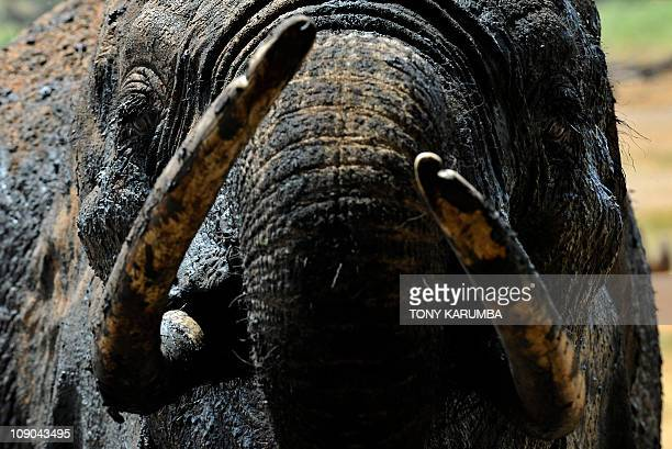 By Otto Bakano This photo made on February 10 2011 shows an Elephant at a watering hole in Tsavo west national park some 350 kilometres southeast of...
